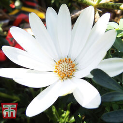 Osteospermum Falling Stars'™ 'Erato Basket Pure White'