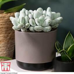 Pachyphytum oviferum (House plant)