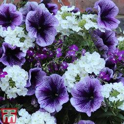 Palma Violet