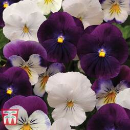 Pansy 'Coolwave Berries 'n' Cream Mix'