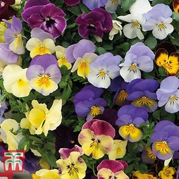 Pansy 'Cool Wave Spring'