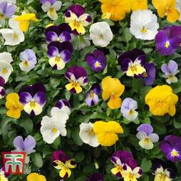 Pansy 'Plentifall Mixed'