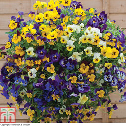 Pansy 'Waterfall Mix'