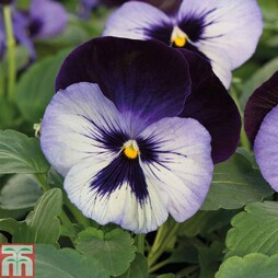 Pansy F1 'Mystique Moonlight'
