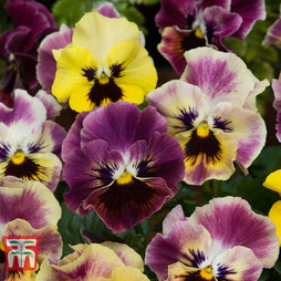 Pansy 'Frizzle Sizzle Fire'