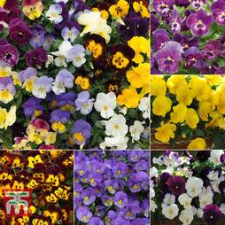 Nurseryman's Choice Pansy Coolwave Collection