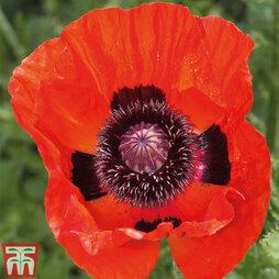 Great Scarlet Poppy