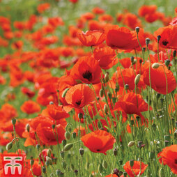 Poppy (Wild) - Kew Collection Seeds