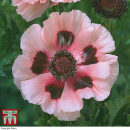 Papaver 'Little Dancing Girl'