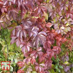 Parthenocissus quinquefolia 'Troki Red Wall'