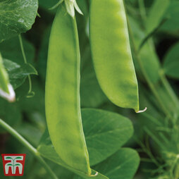 Pea 'Oregon Sugar Pod' (Mangetout)