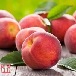 Fruit Me® 'Peach Me Red' (Mini Patio Tree)