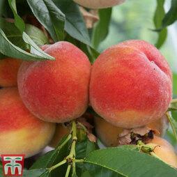 Peach 'Redhaven'