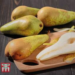 Pear 'Conference'