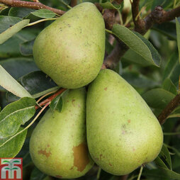 Pear 'Invincible'