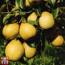 Pear 'Benita'