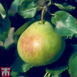 Pear 'Catillac'