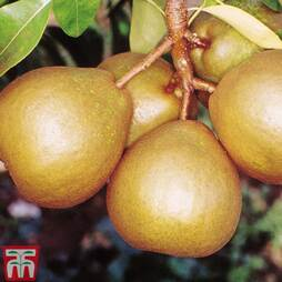 Pear 'Winter Nelis'