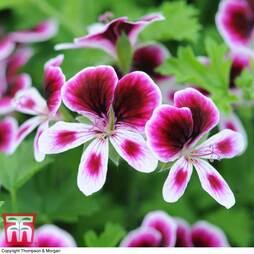 Geranium 'Mosquitaway Eva'
