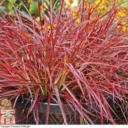Pennisetum setaceum 'Fireworks'