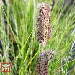 Pennisetum viridescens
