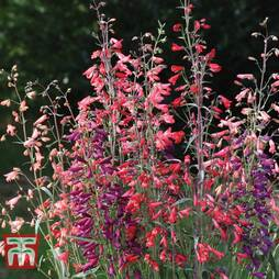 Penstemon barbartus 'Twizzle'