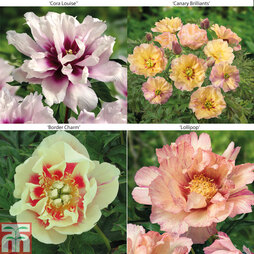 Peony 'Itoh' Collection