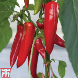 Chilli Pepper 'Amboy' Grafted