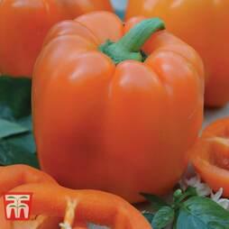 Sweet Pepper 'Etiuda'