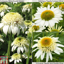 Perennial White Hot Collection