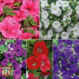 Nurserymans Choice Petunia Surfinia