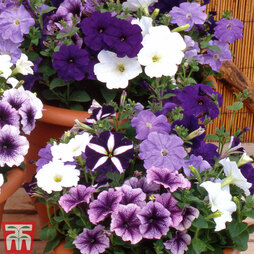 Petunia 'Grand Rapids Mixed' F1 Hybrid