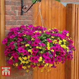 Petunia Surfinia Purple & Bidens Preplanted basket