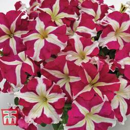 Petunia SUCCESS!® HD Rose Star