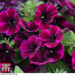 Petunia 'Sweetunia Johnny Flame'