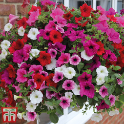 Petunia 'Surfinia AGM Collection'