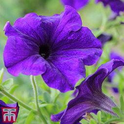 Petunia grandiflora 'Blue'