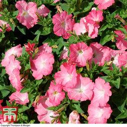 Petunia grandiflora 'Coral Morn'