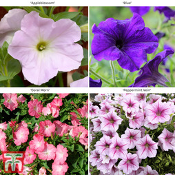 Petunia Grandiflora Collection