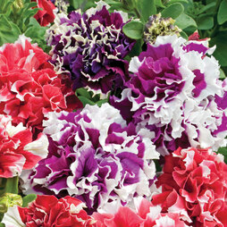 Petunia 'Orchid-Flowered Mixed' F1 Hybrid