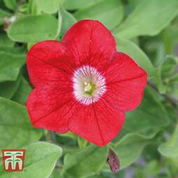 Petunia 'Trailing Surfinia Red'