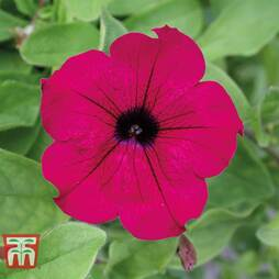 Petunia 'Trailing Surfinia Purple'