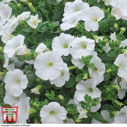 Petunia 'Trailing Surfinia White'
