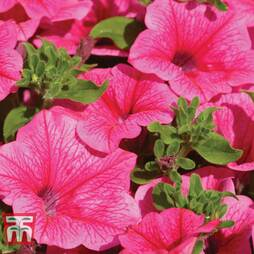 Petunia 'Trailing Surfinia Hot Pink'
