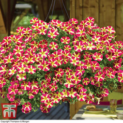 Petunia 'Amore™ Queen of Hearts'