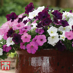 Petunia Wave 'Fly Me To The Moon'