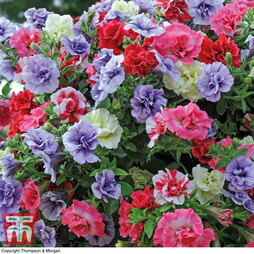 Petunia 'Frills & Spills'™ Mixed' Pre-Planted Basket