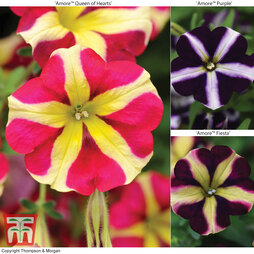 Petunia 'Amore™' Collection