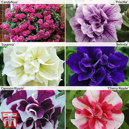 Nurserymans Choice Petunia 'Frills & Spills'™ Pre-Planted Hanging Baskets