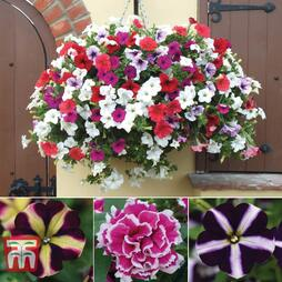 Petunia Saver Collection
